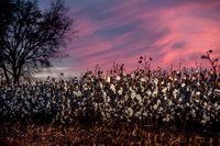 Cotton - South Carolina
